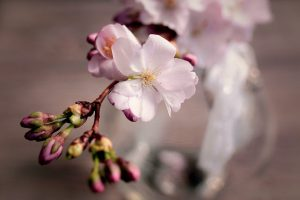 cherry-blossoms-4066631_960_720
